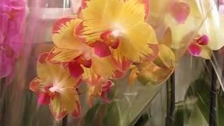 Шикарнейший новый завоз орхидей от 10.01.19г.