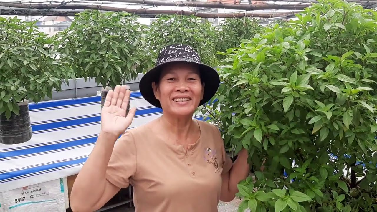 Chia sẻ Một chút Bí Quyết trồng rau Quế , cành lá luôn sum xuê | Khoa Hien 335