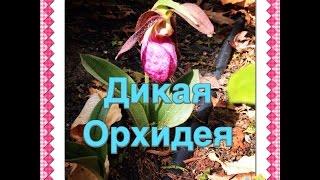 Дикая Орхидея/ Lady Slipper