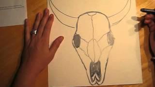 Drawing a Bull Skull