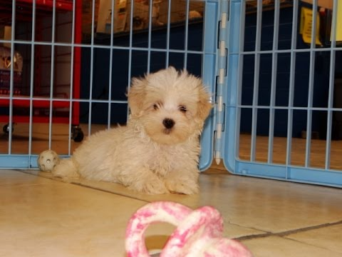 Malti Poo, Puppies, Dogs, For Sale, In Texas USA
