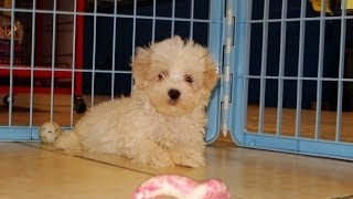 Maltipoo, Puppies For Sale, In, San Antonio, Texas, Tx, Pasadena, Brownsville, Grand Prairie, Laredo