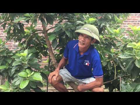 Giới Thiệu Về Cây Bơ  được Trồng Tại Nhà || Đức Cường Vlog