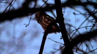 eastern screech owl at night