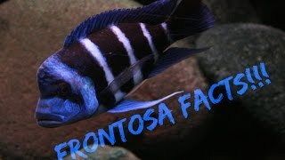 Repeat youtube video Cyphotilapia Frontosa Facts/Frontosa Care