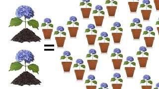 Tips for Rooting Hydrangeas - The Grumpy Gardener