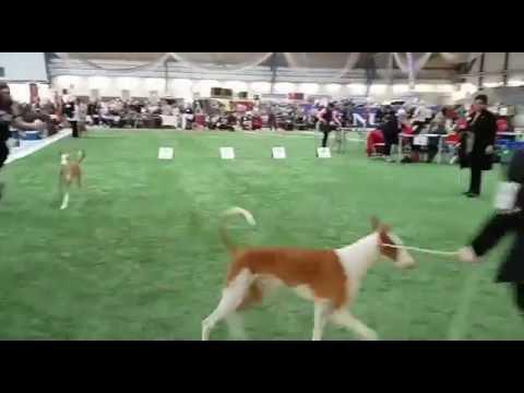 Podenco Ibicenco Viking Line Dog Show 2016 IBIZAN HOUND