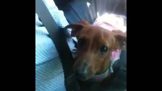 Vincen The Red Mini Dachshund Whining