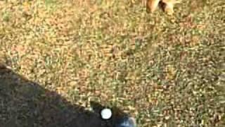 ティアラはゴルフボールが大好きです!