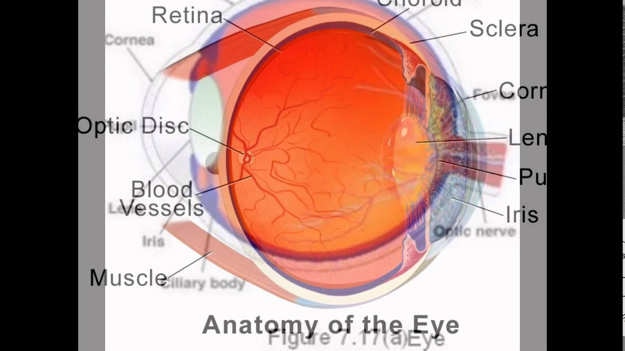 Parts of human eye and its function youtube parts of human eye and its function ccuart Choice Image