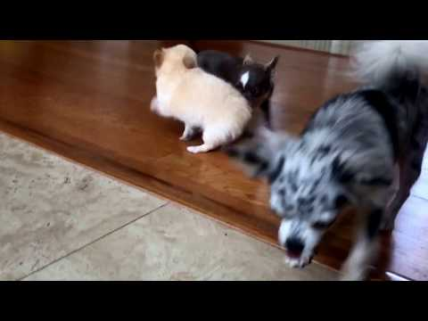Mean girl pulls teeny tiny puppy around by his tail!