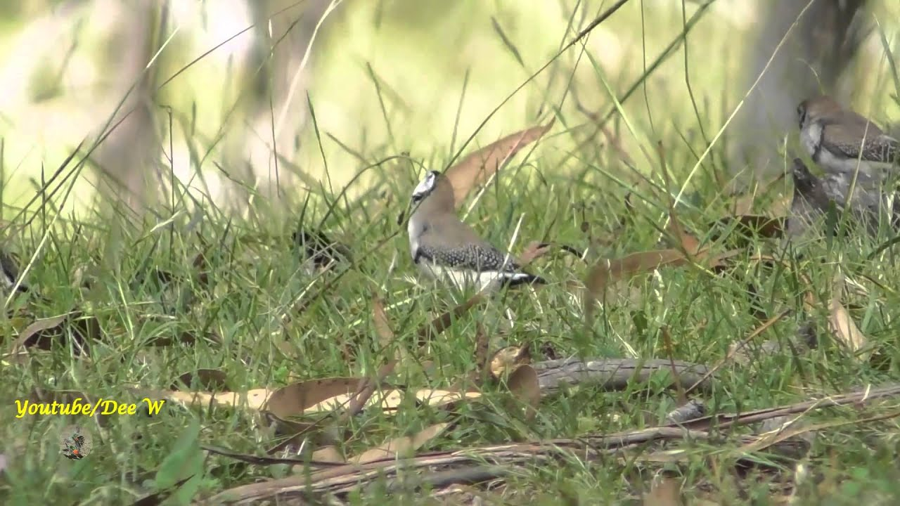 birds in my backyard owl double barred finches youtube