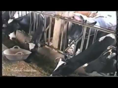 Cows are really inteligent!!!! check it out!!!!!