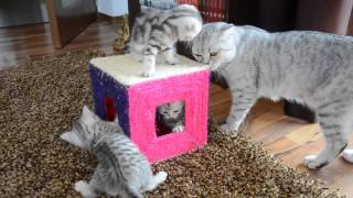 Scottish fold kittens growing up