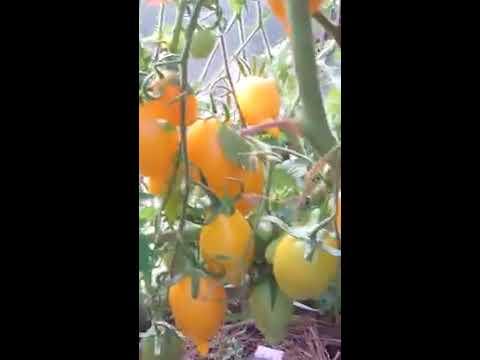 """Достойный сорт томата """"золотой лимон"""""""