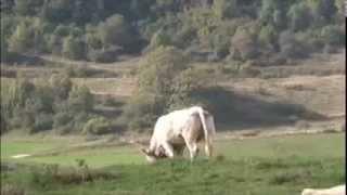 The Sacred Cow Choir of Saint Bonaventure