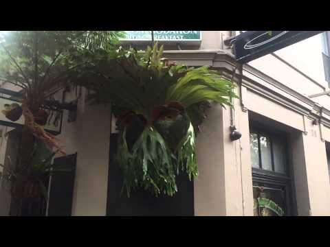 Platycerium Stag Horn Slow Blow Lord Wolseley Pub Sydney Australia