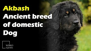 The Akbash is a large, white breed of domestic Dog, native to the mountains of western Turkey.