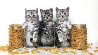 Kittens scottish fold and scottish straight. Шотландские вислоухие и прямоухие котята.
