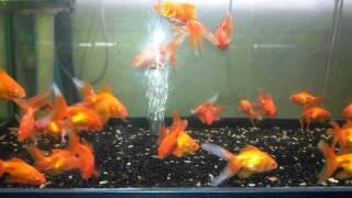 Яркие золотые рыбки