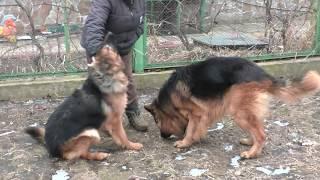 Длинношерстные Немецкие Овчарки Дакар и Юта. Long-haired German Shepherd Dakar and Utah.