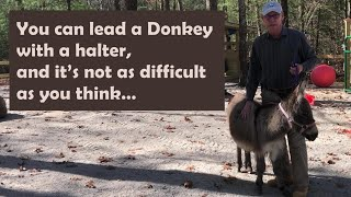 You can lead a Donkey with halter \u0026 it's not as difficult as you think - Halter Training Your Donkey