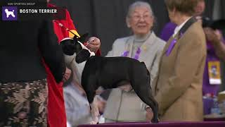 Boston Terriers | Breed Judging 2020