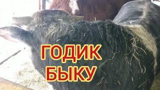 ВЗВЕШИВАНИЕ  ГОДОВАЛОГО  БЫКА./weighing a big bull