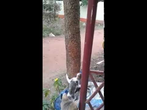 CATS FIGHTing on a TREE