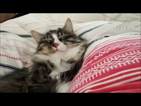 Norwegian Forest Cat Mojo tries to sleep