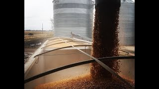 Hauling Corn From The Flat Storage