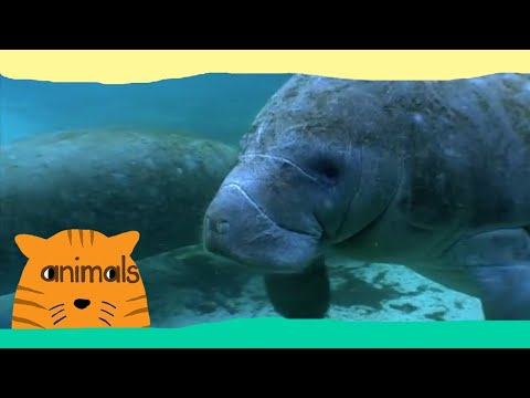 Be The Creature  Expedition Manatees Full Episode