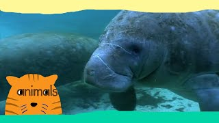 Be The Creature - Expedition Manatees (Full Episode)
