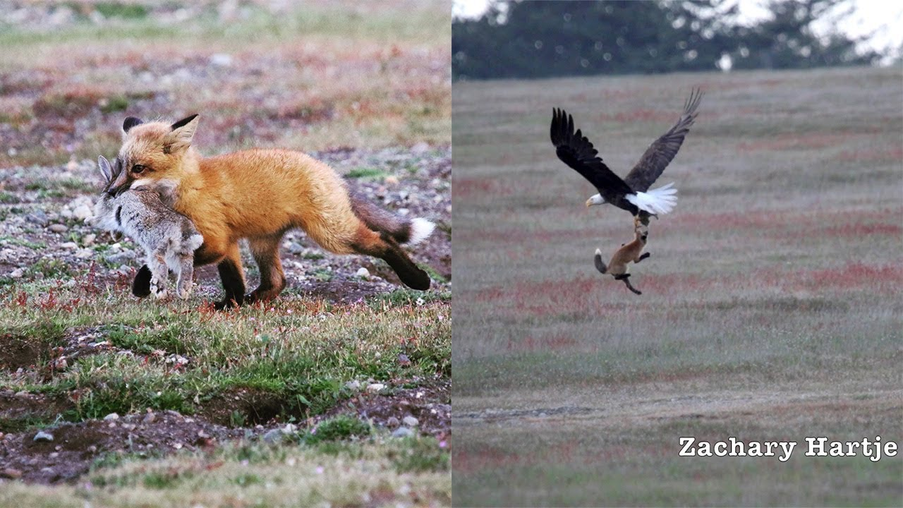 Amazing video shows eagle battling fox for rabbit in mid-air