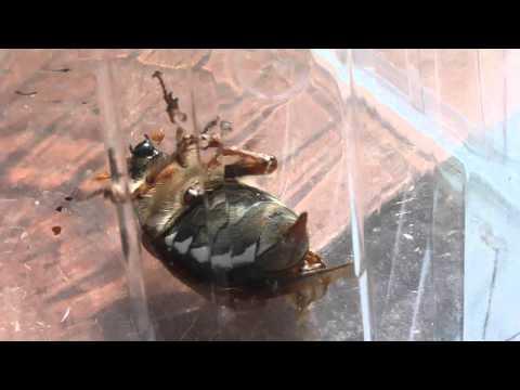 Cockchafer (Fuzzy Jewel Beetle bug, May beetle, insect, bee, moth, flying etc) May 2012 - UK