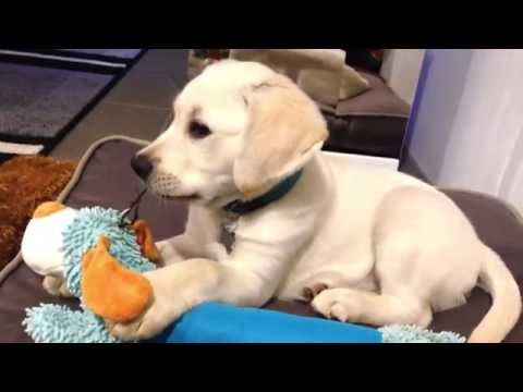 Banjo the White Labrador Puppy's First Night at Home