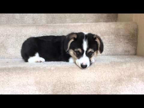 Adorable Puppy Going Down The Stairs Will Steal Your Heart!