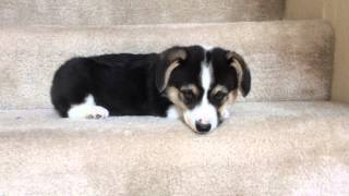 Corgi puppy going down stairs