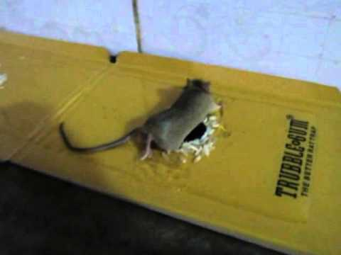 Glue Trap For Rats The Worst Thing That Ever Exists YouTube