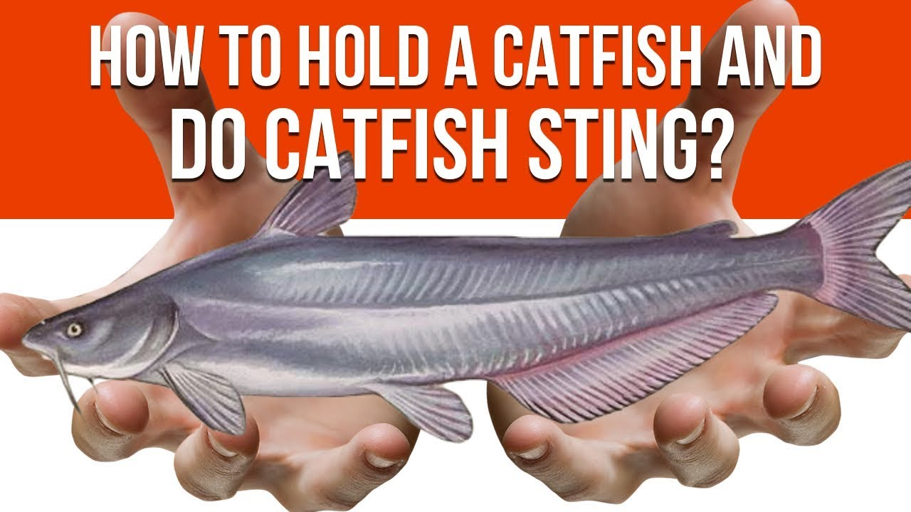how to hold a catfish and do catfish sting youtube. Black Bedroom Furniture Sets. Home Design Ideas