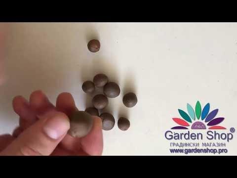 Как выглядят семена камелия китайская - Чайный куст, чайного растения, Camellia sinensis