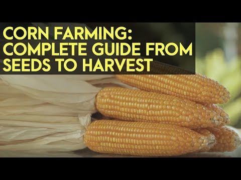 Corn Farming in the Philippines : Complete Guide from Seeds to Harvest