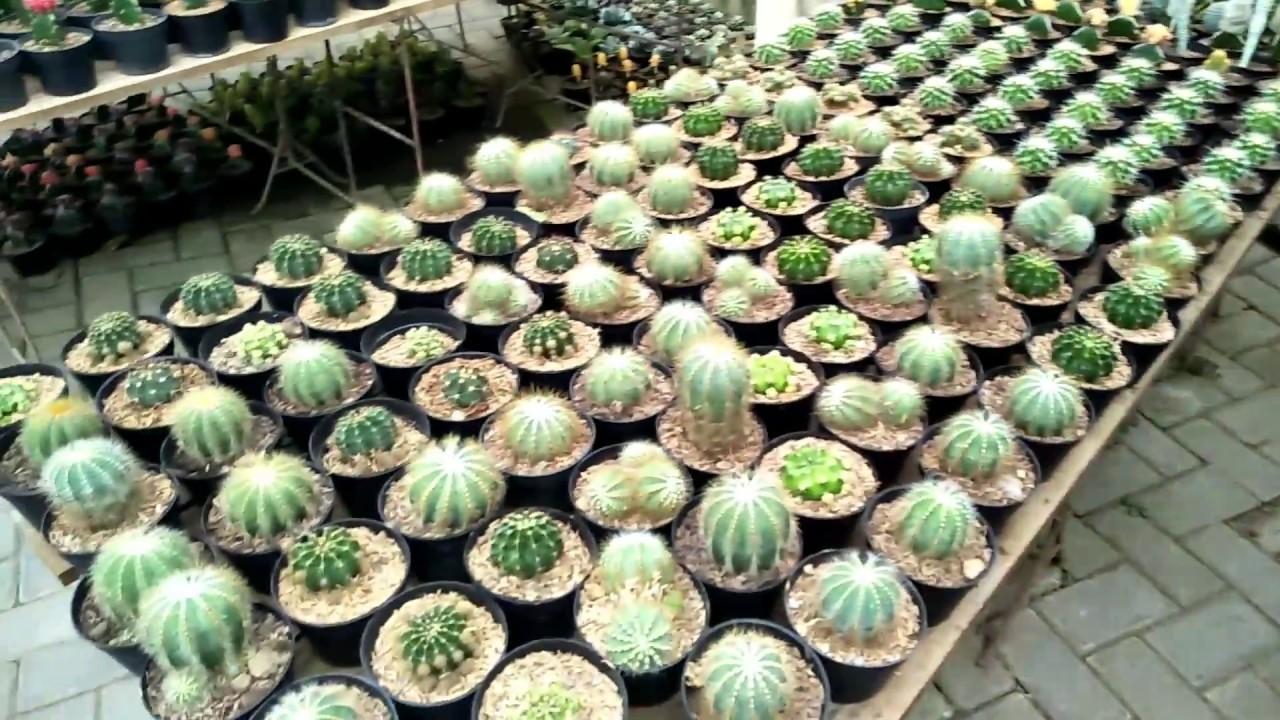 Penampakan Jenis Jenis Kaktus Hias Di Dunia