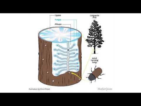 Bark Beetles Part 1 Intro