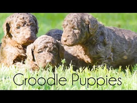 5 week old Groodle puppies