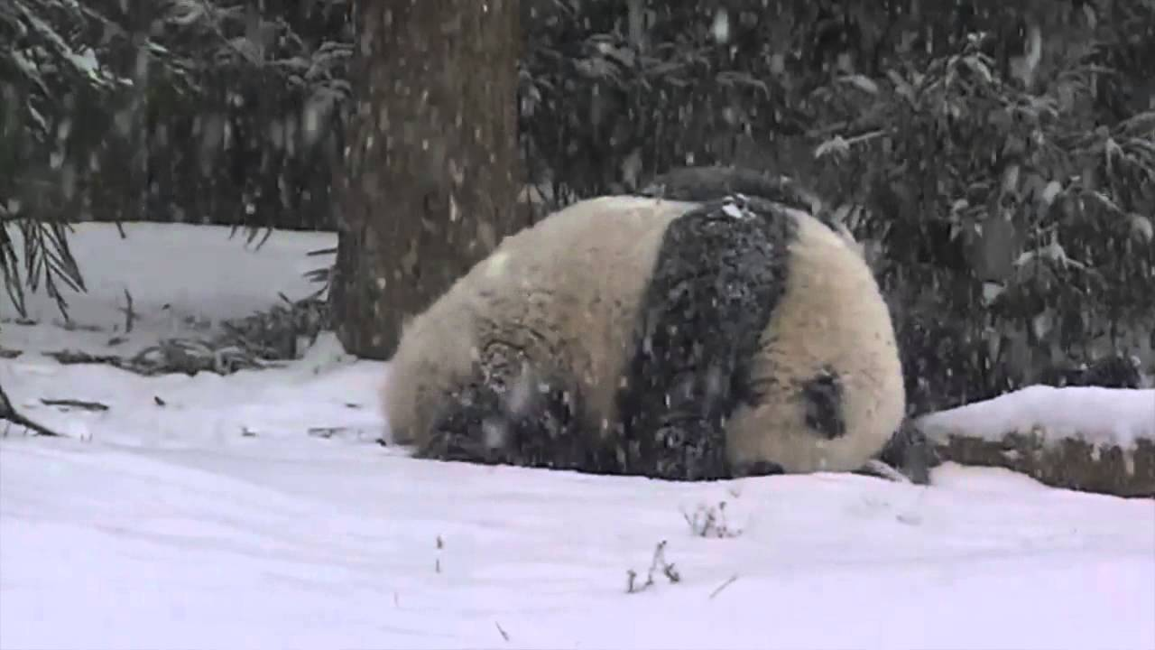 Bao Baos First Snow Day YouTube - This bear is rolling down a hill is having the time of his life