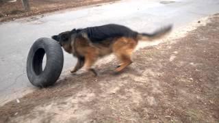 Крутой шиномонтажник. Собака играет с колесом.