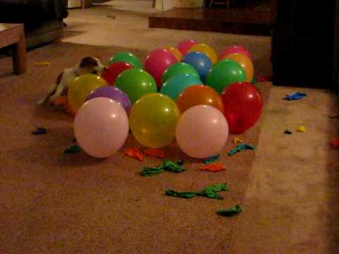 Anastasia – balloon popping dog, gets ready for the Guinness World record