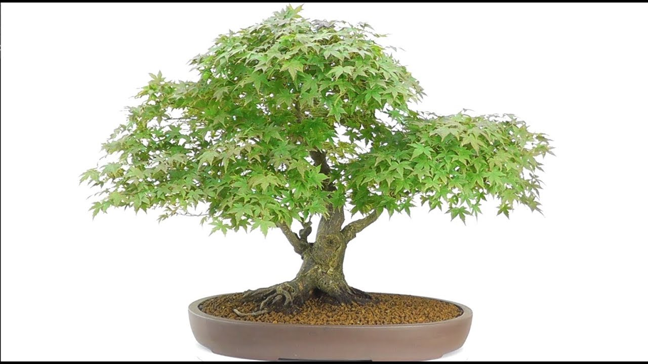 Japanese Maple Bonsai For Sale - YouTube