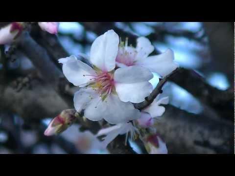 Mandulafa Virága - Almond Flowers /Francis Goya - Che Sarà /